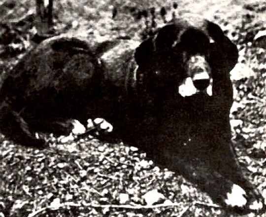 A Black St. Johns Dog
