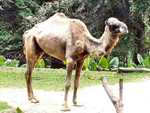 Dromedary Camel in the Singapore Zoo