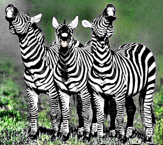 three zebras who are in the zone
